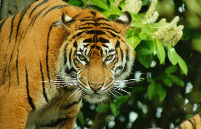 tigre 2..jpg