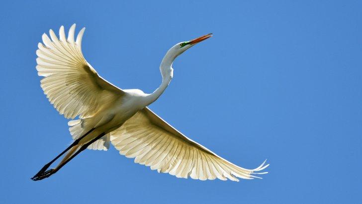 oiseau-héron-vol.jpg